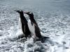 Золотая гавань. Пингвины Генту