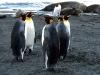 Золотая гавань. Королевские пингвины