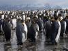 Золотая гавань. Колония королевских пингвинов