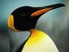 Золотая гавань. Королевский пингвин