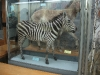 thumbs nacionalnyj nauchno prirodovedcheskij muzej nan ukrainy 25 Национальный научно природоведческий музей НАН Украины