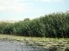 Река Северский Донец. Камыш