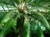 Тропический маршрут Ботанического сада имени В.Л. Комарова. Саговник завитой