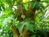 Тропический маршрут Ботанического сада имени В.Л. Комарова. Папайя