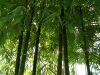 Водный маршрут Ботанического сада имени В.Л. Комарова. Бамбук