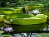 Водный маршрут Ботанического сада имени В.Л. Комарова. Кувшинка Виктория Амазонская