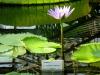 Водный маршрут Ботанического сада имени В.Л. Комарова. Тропическая кувшинка